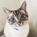 猫の種類と性格!初心者におススメの飼いやすい猫8種類!